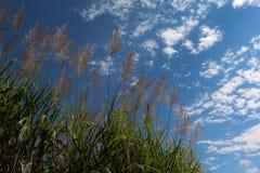 Sugar cane flower Sunrise,Beauty blue sky Stock Images