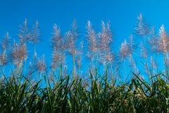 Sugar cane flower Sunrise Royalty Free Stock Photo