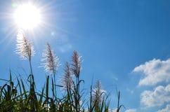Sugar cane flowers Stock Photo