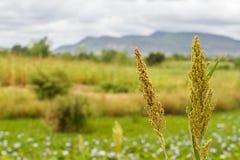 Sugar cane. Royalty Free Stock Photo