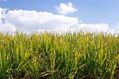 Sugar Cane-gewas op gebied klaar voor oogst - groen gebied met bl Stock Fotografie