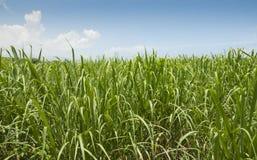 Sugar cane grass. Field of young sugar cane plants Stock Photos
