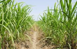 Sugar cane grass Stock Photos