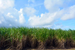 Sugar cane grow in a farm Royalty Free Stock Photo