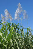 Sugar Cane, Guadeloupe Royalty Free Stock Photography