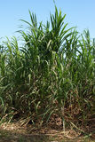 Sugar Cane, Guadeloupe Royalty Free Stock Photo