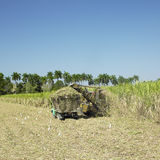 Sugar cane harvest Stock Images