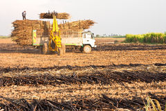 Sugar cane harvest. Royalty Free Stock Photo