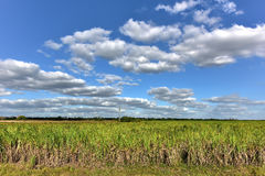 Sugar Cane Harvest Royalty Free Stock Image