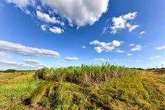 Sugar Cane Harvest Stock Image