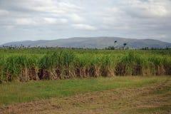 Sugar Cane i Kuba Arkivbilder