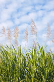 Sugar Cane In Bloom Stock Images