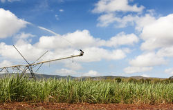 Sugar cane 1772 Stock Photography