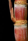 Sugar Cane Isolated on a Black Background Stock Photos