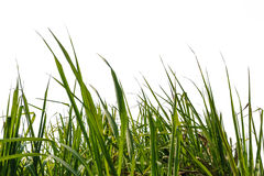 Sugar cane leaf Royalty Free Stock Photography