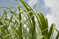 Sugar Cane Leaves. On a cloudy day Stock Photos