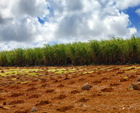 Sugar cane. Mauritius. Landscape in a sunny day stock images