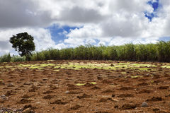 Sugar cane. Mauritius. Landscape in a sunny day royalty free stock photography