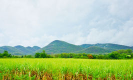 Sugar cane and the mountain. Behide Stock Photo