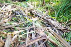 Sugar cane in nature. Sugar cane in nature agriculture Royalty Free Stock Images