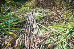 Sugar cane in nature. Sugar cane in nature agriculture Royalty Free Stock Photos