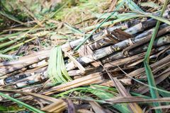 Sugar cane in nature. Sugar cane in nature agriculture Royalty Free Stock Photo