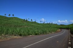 Sugar Cane och kokospalmer Royaltyfri Fotografi