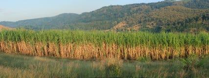 Sugar Cane panorama. Panoramic scenery of sugar cane plantation Royalty Free Stock Photos