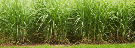 Sugar cane. Part of sugar cane plantation closeup Royalty Free Stock Image