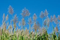 Sugar Cane Patch Royalty Free Stock Photos