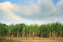 Sugar cane plantation. Landscape of sugar cane plantation Stock Images