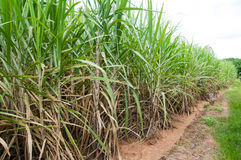 Sugar cane plantation Stock Images