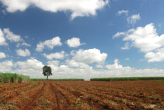 Sugar cane plantation Royalty Free Stock Images