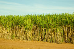 Sugar Cane Plantation Royalty Free Stock Images