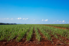 Sugar cane plantation. Blue sky, side viewr Royalty Free Stock Photos