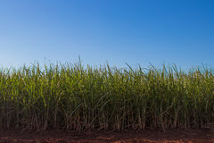 Sugar cane plantation. Blue sky, side viewr Royalty Free Stock Images
