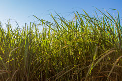 Sugar cane plantation. Blue sky, side viewr Stock Image