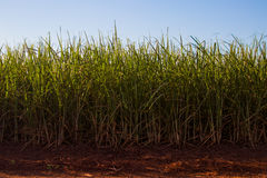 Sugar cane plantation. Blue sky, side viewr Stock Photography