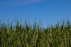 Sugar cane plantation. Blue sky, side viewr Stock Photo