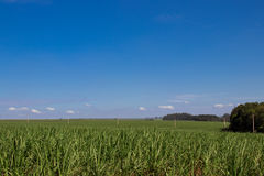 Sugar cane plantation. Blue sky, side viewr Royalty Free Stock Image