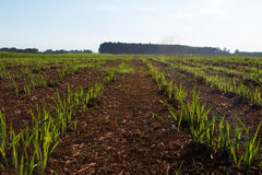 Sugar cane plantation. Close detail Stock Image