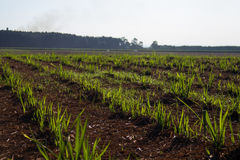 Sugar cane plantation. Close detail Royalty Free Stock Photography