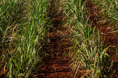 Sugar cane plantation. Close detail Royalty Free Stock Images