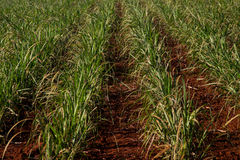 Sugar cane plantation. Close detail Stock Photography
