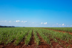 Sugar cane plantation. Close detail Royalty Free Stock Photo