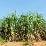 Sugar cane plantation Stock Photos