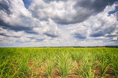 Sugar cane plantation and cloudy sky - Brazil coutryside Stock Images