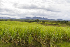 Sugar cane plantation on Cuba Royalty Free Stock Photo