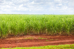 Sugar cane plantation Royalty Free Stock Photos