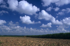Sugar cane plantation in Dominican republic Royalty Free Stock Images